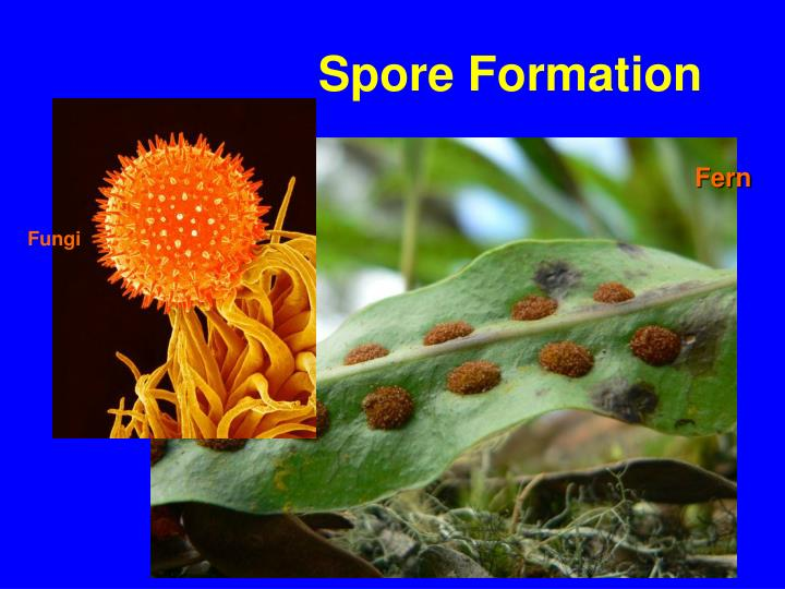 spore formation asexual reproduction The types of asexual reproduction are binary fission, budding, fragmentation, spore formation, and vegetative reproduction what does binary fission mean the splitting of a single parent cell into two equal parts that have the same copies of genetic material.