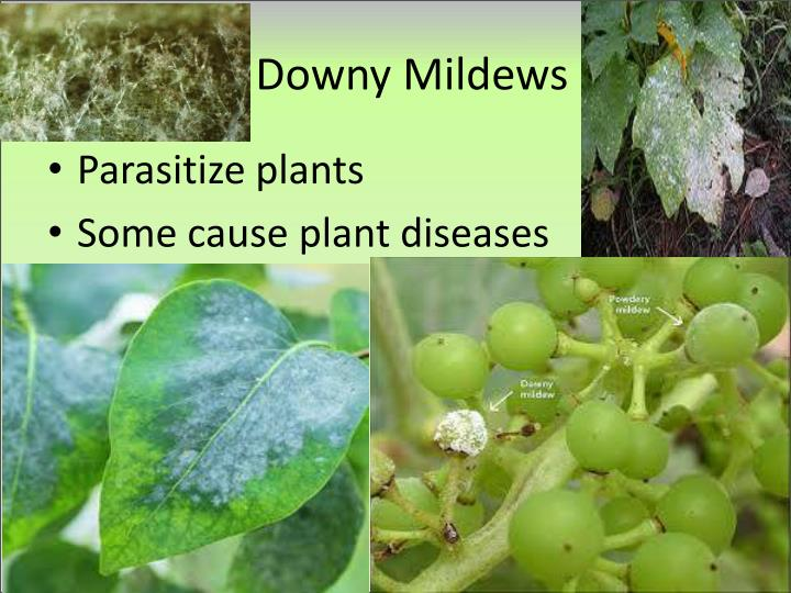 Downy Mildews