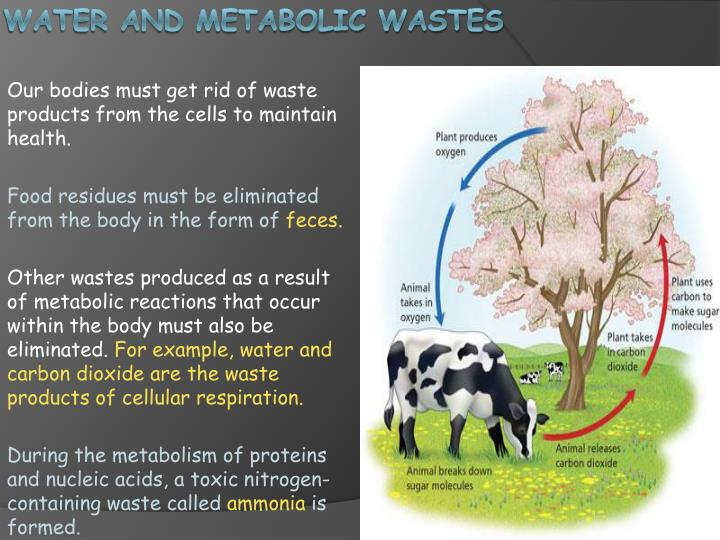 Water and metabolic wastes