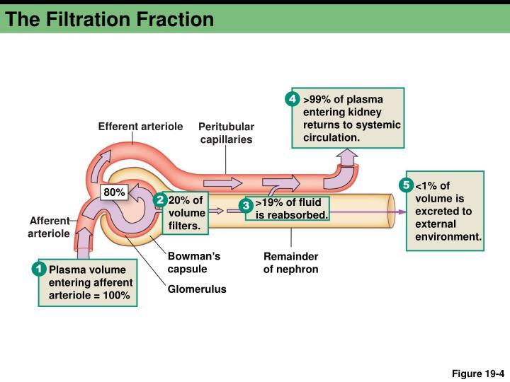 The Filtration Fraction