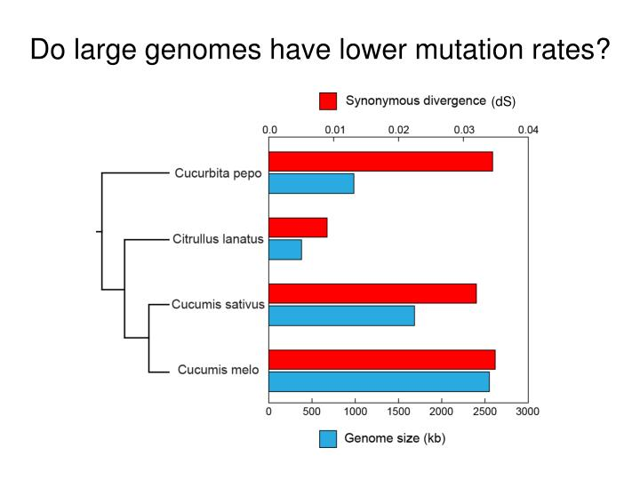 Do large genomes have lower mutation rates?