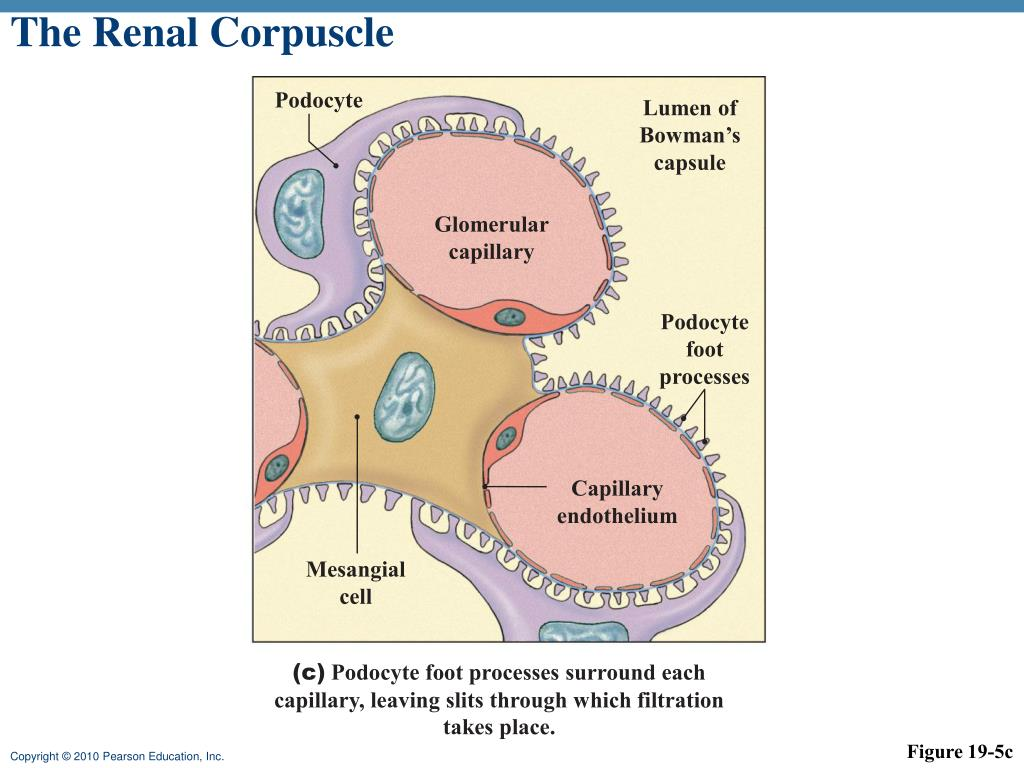 Ppt - Kidney Functions Powerpoint Presentation  Free Download
