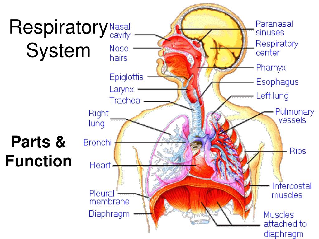 Ppt Respiratory System Powerpoint Presentation Id1998294