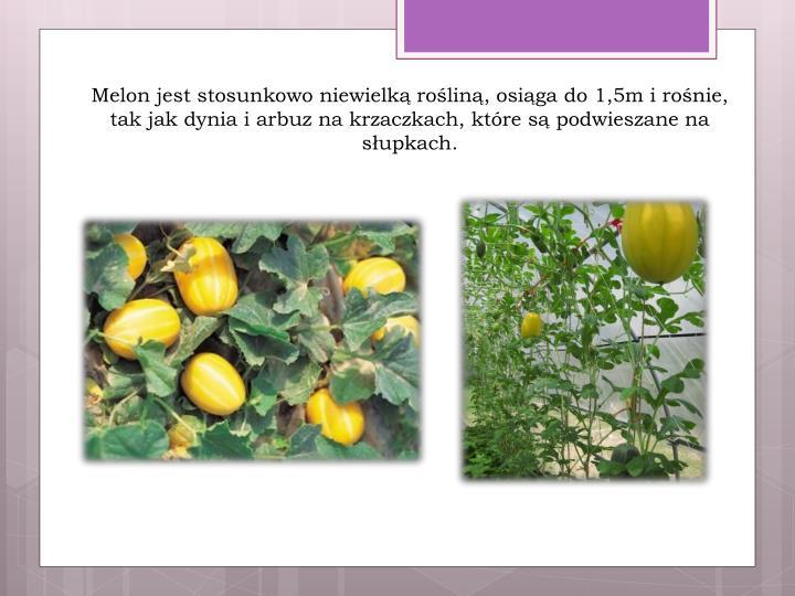 Melon jest stosunkowo niewielką rośliną, osiąga do 1,5m i rośnie, tak jak dynia i arbuz na krzaczkach, które są podwieszane na słupkach.