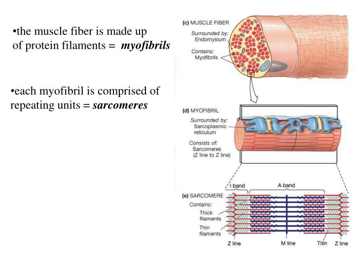 the muscle fiber is made up