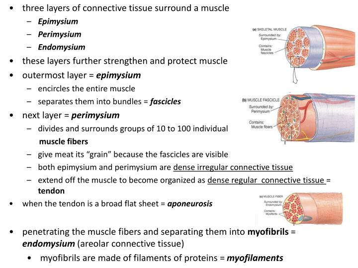 three layers of connective tissue surround a muscle
