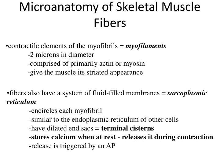 Microanatomy of Skeletal Muscle Fibers