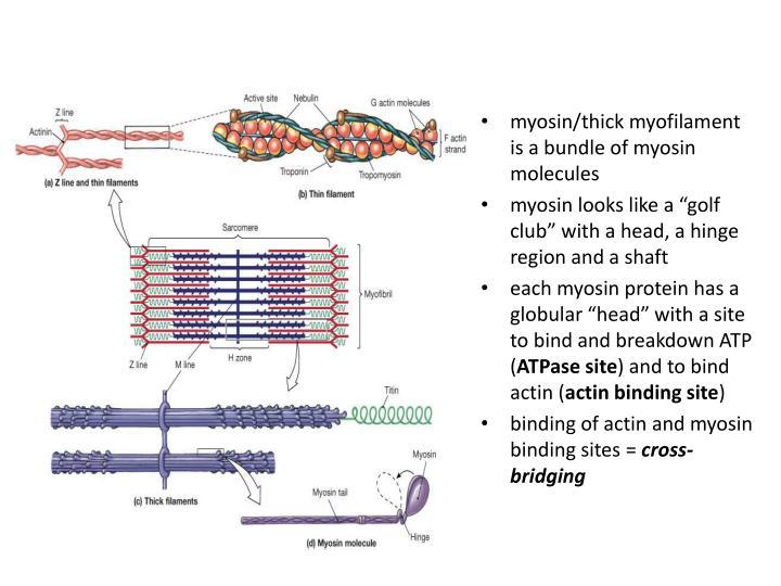 myosin/thick myofilament is a bundle of myosin molecules