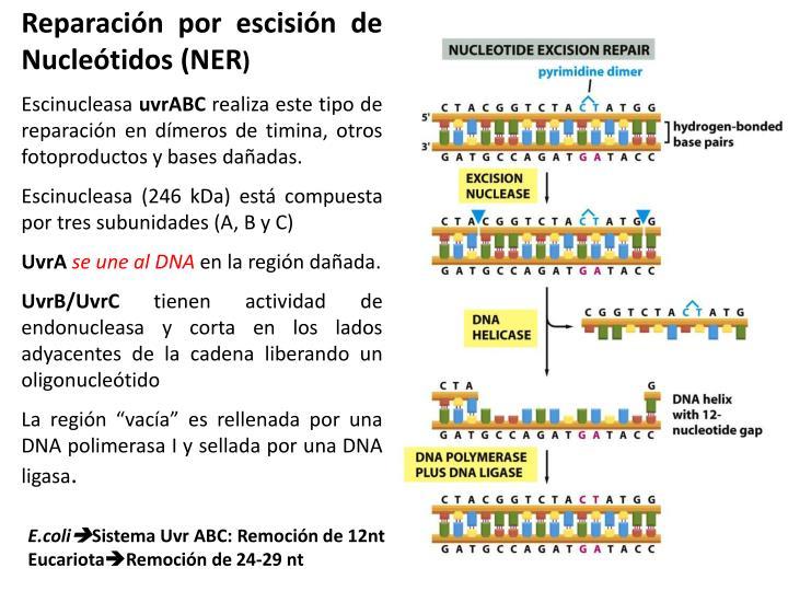 Reparación por escisión de Nucleótidos (NER