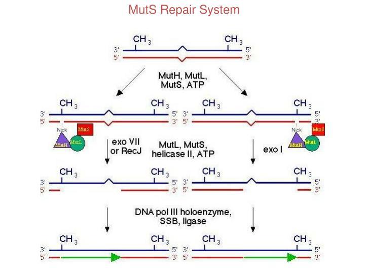 MutS Repair System