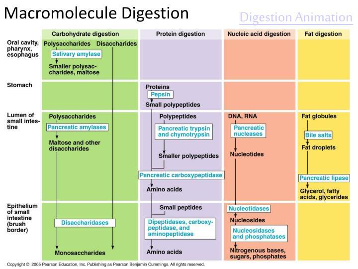Macromolecule Digestion