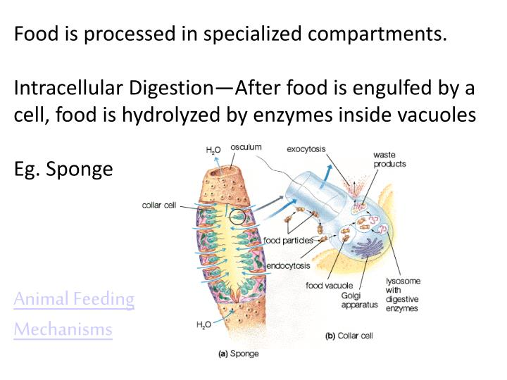 Food is processed in specialized compartments.