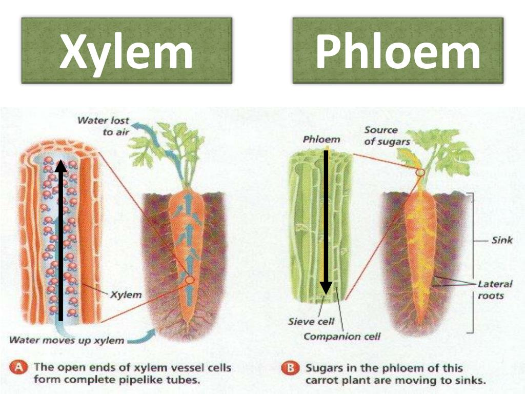 PPT - Plant Tissues, Structure and Function PowerPoint ... Xylem Tissue Function