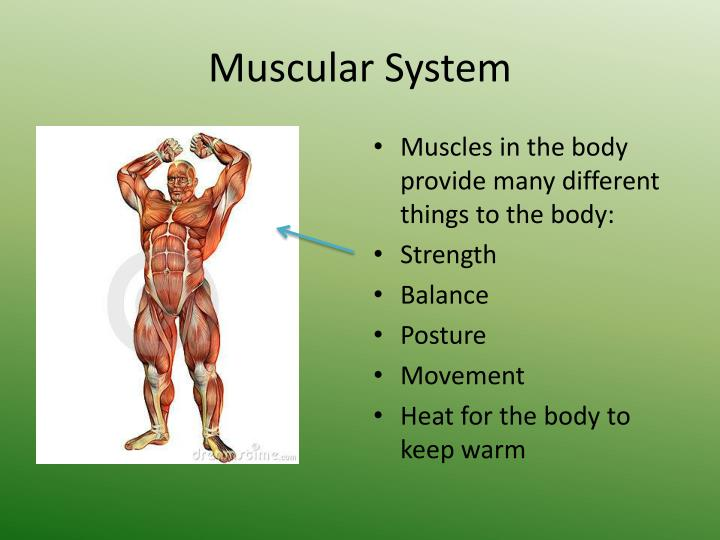Ppt The Anatomy And Physiology Of The Muscular System Powerpoint