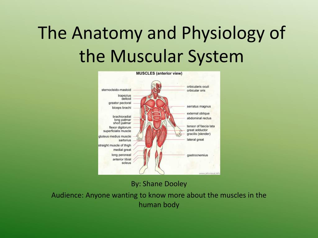 PPT - The Anatomy and Physiology of the Muscular System PowerPoint ...