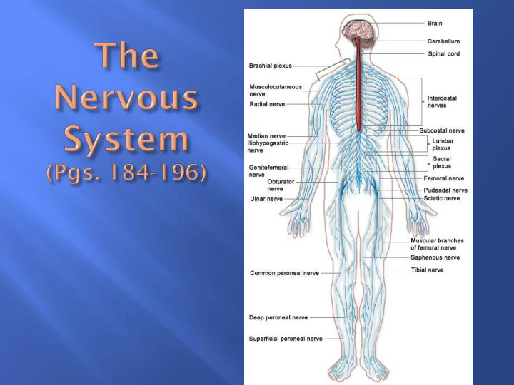 the nervous system pgs 184 196 n.