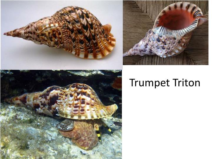 Trumpet Triton