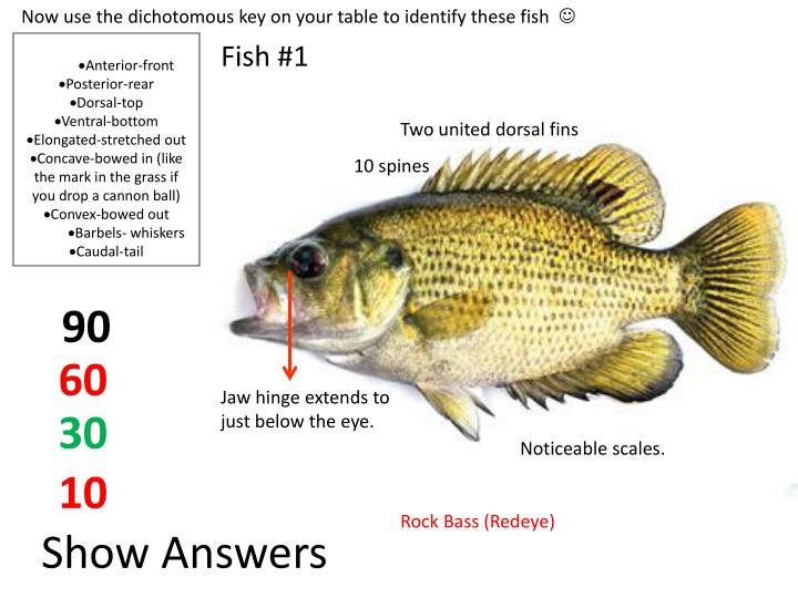 Now use the dichotomous key on your table to identify these fish