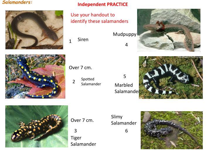 Salamanders: