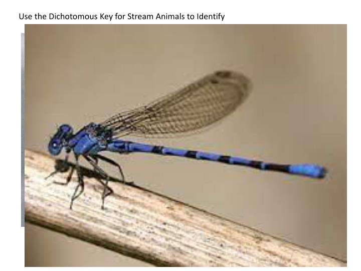 Use the Dichotomous Key for Stream Animals to Identify