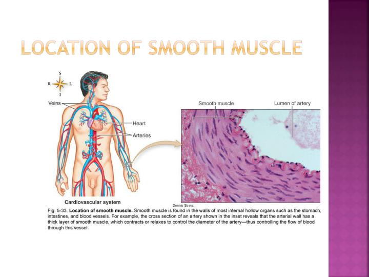 Location of smooth muscle