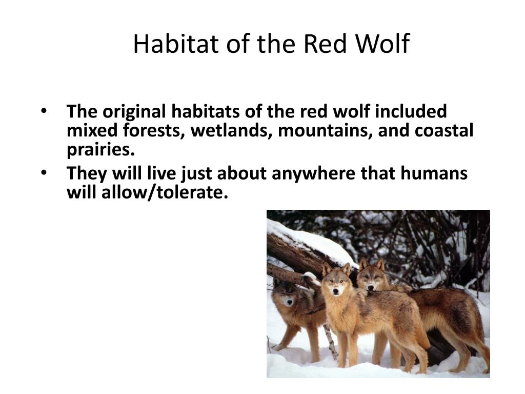 PPT - Conservation of the Red Wolf PowerPoint Presentation