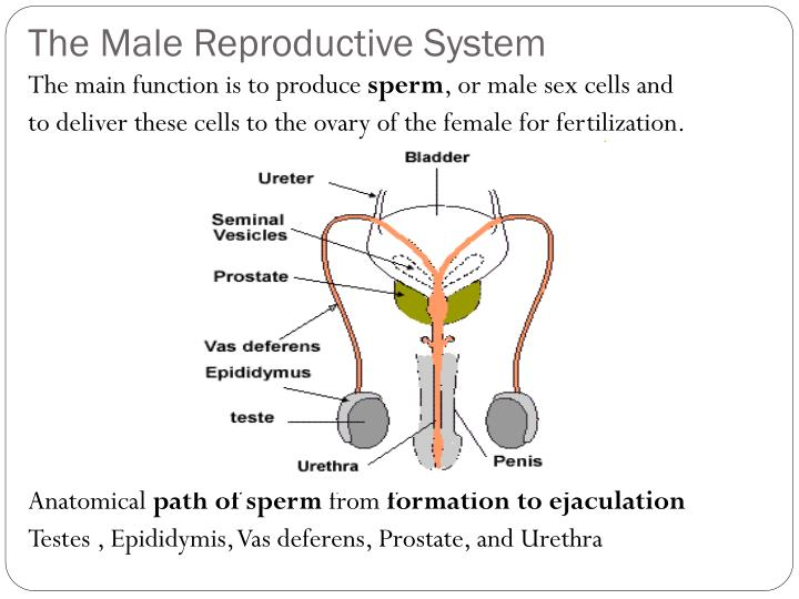 Ppt The Reproductive System Powerpoint Presentation Id2007753