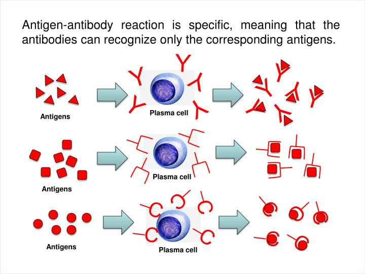 Antigen-antibody reaction is specific, meaning that the antibodies can recognize only the corresponding antigens.