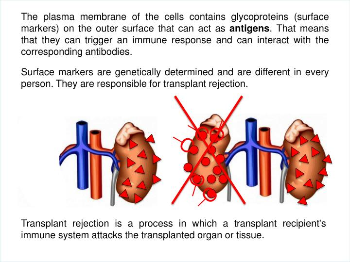 The plasma membrane of the cells contains glycoproteins (surface markers) on the outer surface that can act as