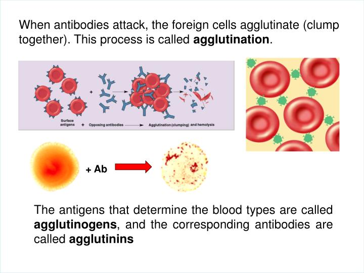 When antibodies attack, the foreign cells agglutinate (clump together). This process is called
