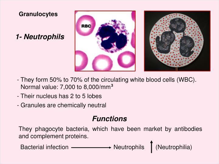 Granulocytes