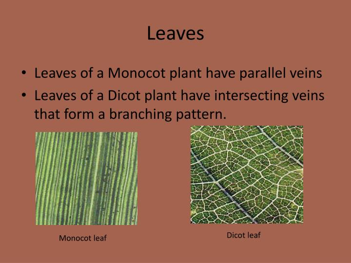 the germination patterns of dicot and monocot Monocots, dicots and eudicots distinguished ben g bareja, oct aside from the monocots, the other members of the angiosperms used to be the traditionally described dicots or dicotyledons in other words, the angiospermous plants were divided into two distinct classes: the monocotyledons or.