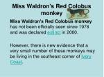 miss waldron s red colobus monkey