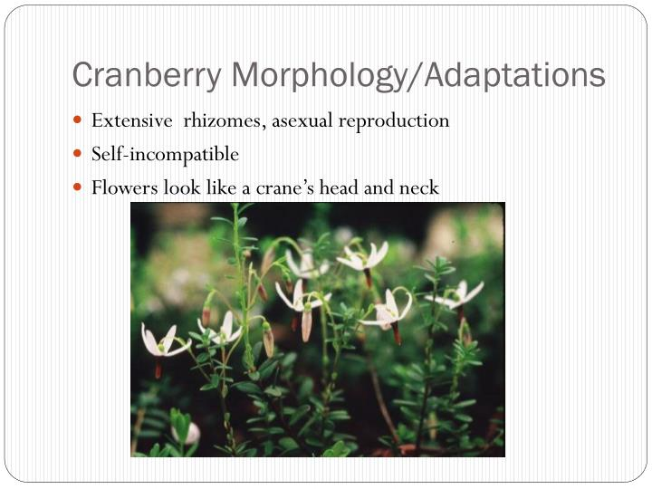 Cranberry Morphology/Adaptations