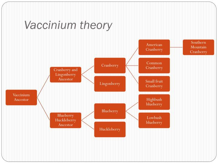 Vaccinium