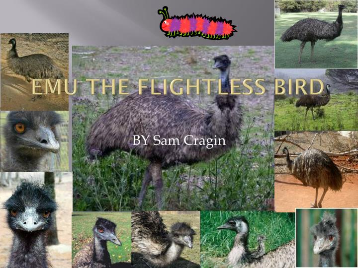 emu the flightless bird n.