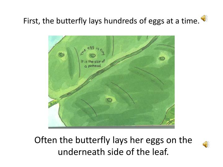 First, the butterfly lays hundreds of eggs at a time.