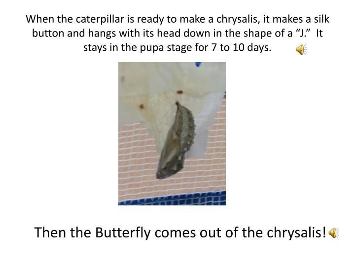 """When the caterpillar is ready to make a chrysalis, it makes a silk button and hangs with its head down in the shape of a """"J.""""  It stays in the pupa stage for 7 to 10 days."""