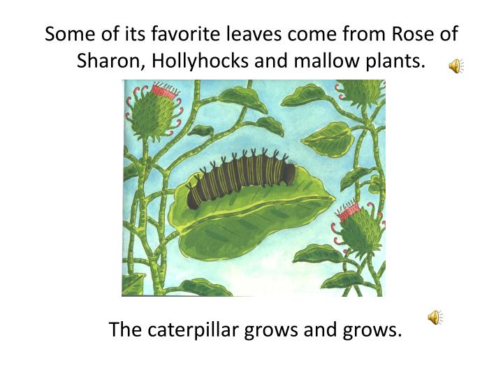 Some of its favorite leaves come from Rose of Sharon, Hollyhocks and mallow plants.