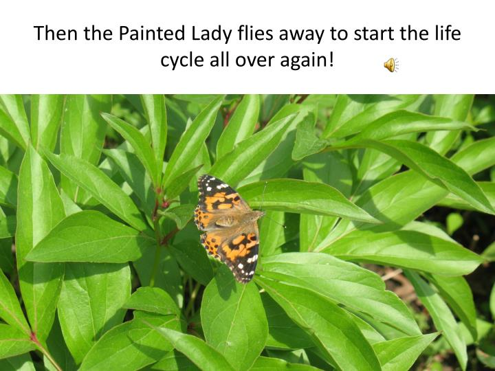 Then the Painted Lady flies away to start the life cycle all over again!