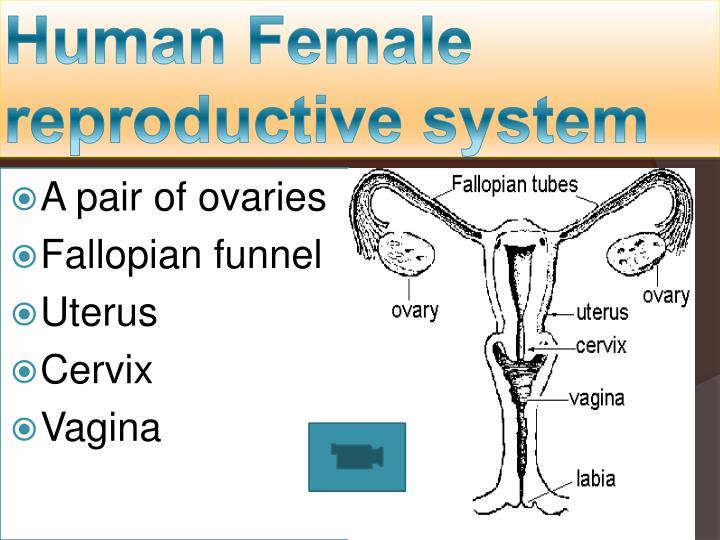 Ppt Human Male Female Reproductive System Powerpoint