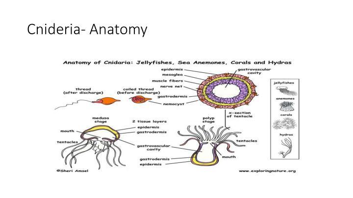 Cnideria- Anatomy