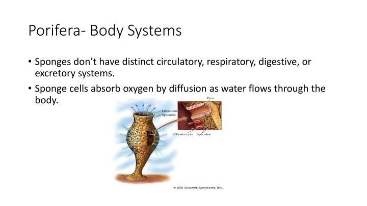 Porifera- Body Systems