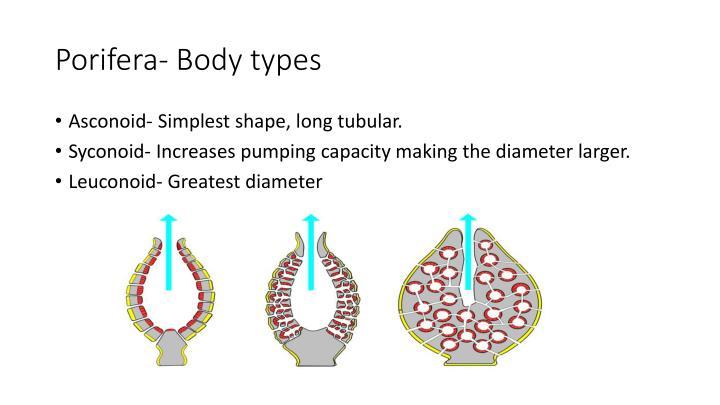 Porifera- Body types