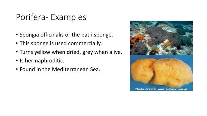 Porifera- Examples