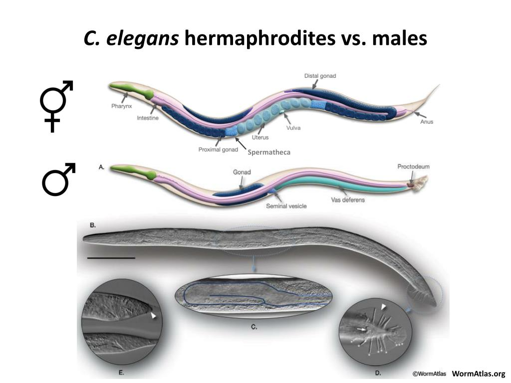 Ppt - Neurons For Male Mating In C   Elegans Powerpoint Presentation  Free Download
