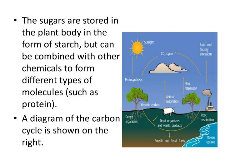 The sugars are stored in the plant body in the form of starch, but can be combined with other chemicals to form different types of molecules (such as protein).