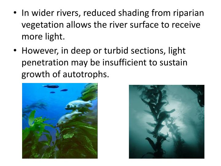 In wider rivers, reduced shading from riparian vegetation allows the river surface to receive more light.