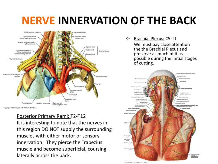 Ppt Muscles Of The Appendicular Skeleton Innervation Of Blood