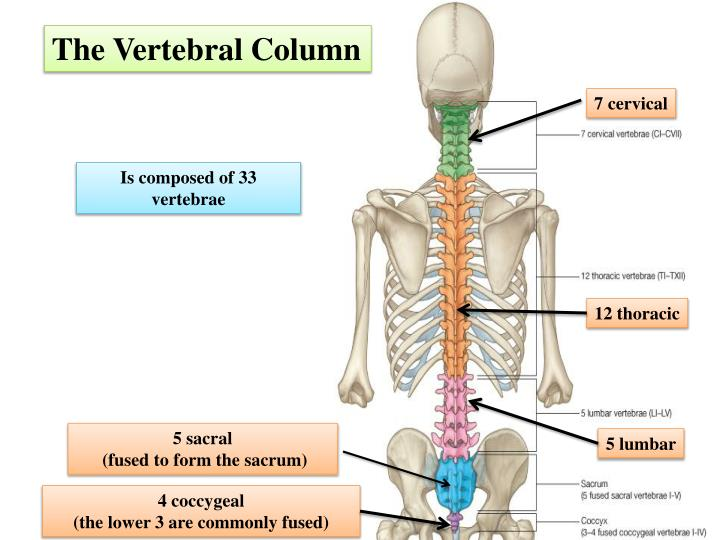 PPT - The Vertebral Column PowerPoint Presentation - ID:2015688